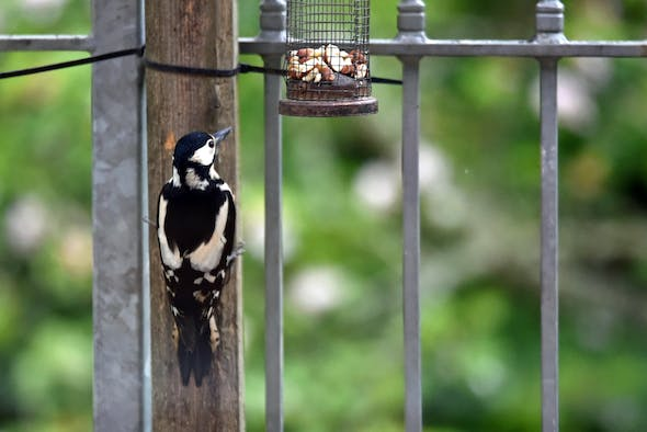 Woodpecker on a post by a bird feeder